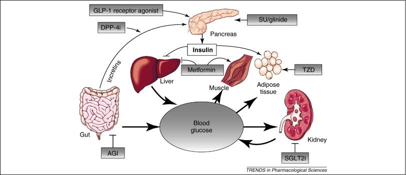 Canagliflozina PL 2 mecanismo de ação