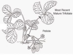 Análise de nutrientes na produção de morango