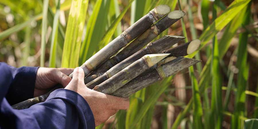 Impacto-da-salinidade-do-solo-e-no-rendimento-da-cana-de-açúcar-lacqua-twin