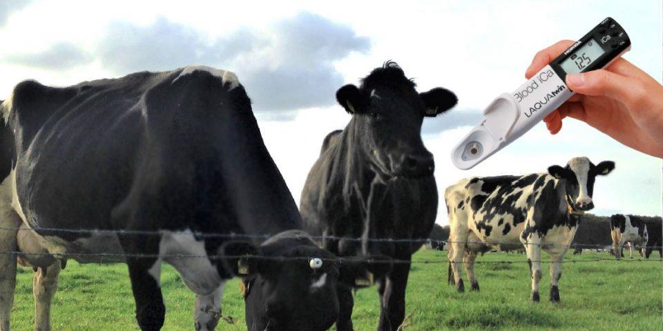 Hipocalcemia em vacas